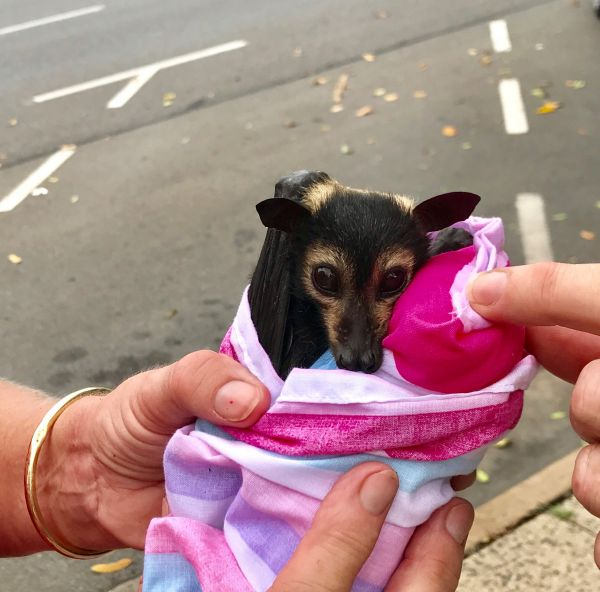 Incredibly cute baby fruit bat A flying fox from Cairns Australia. 32096006476
